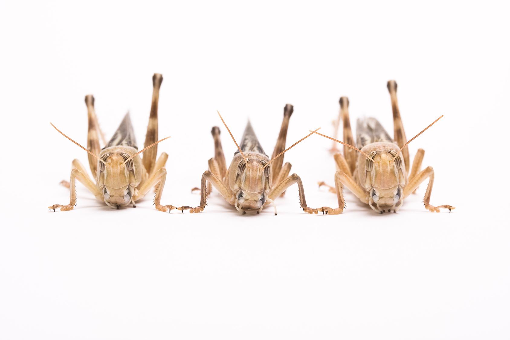 Un tablet contro le locuste (per la FAO)