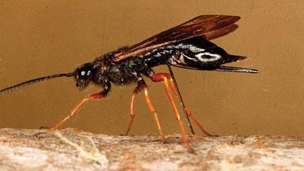 vespa del legno