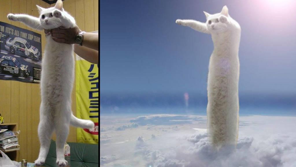 nobiko gatto lungo meme
