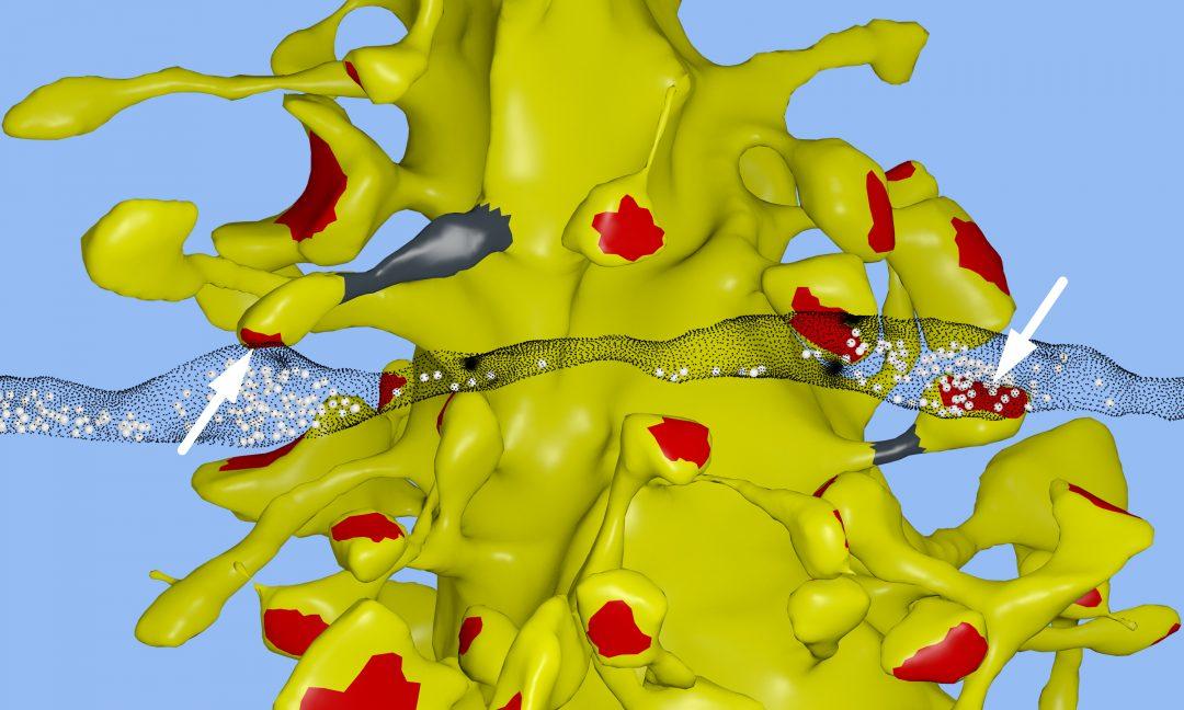 Quanto è la capacità di memoria del cervello umano? 1 Petabyte